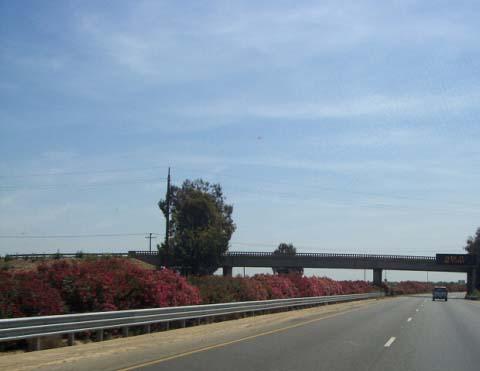 oleanders.jpg
