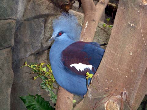 a-blue-crested-pigeon.jpg