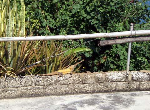 a-iguana.jpg