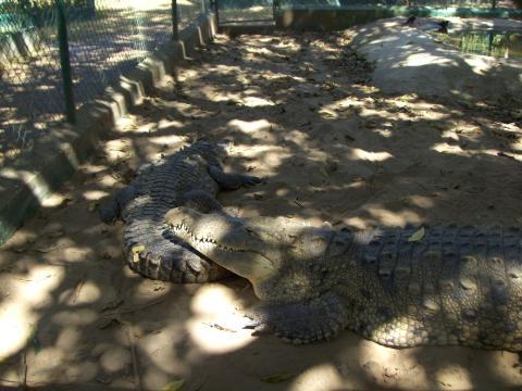 a-croc2.jpg