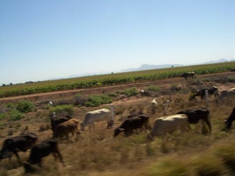 a-cows2.jpg