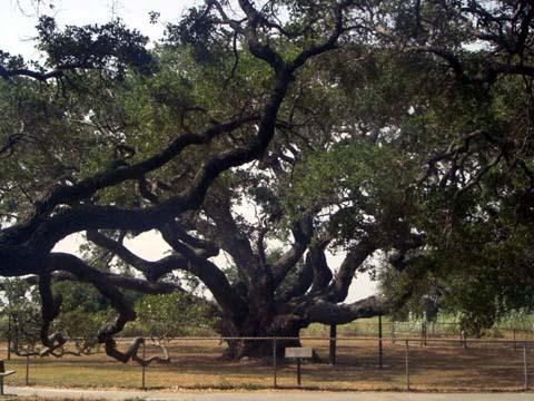 big-oak.JPG