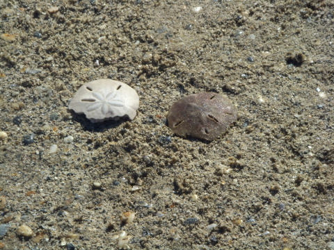 a-sand-dollar-old-and-new.jpg