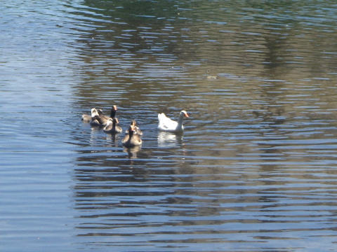 a-ducks.jpg