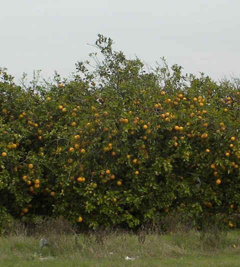 orange-tree-480.jpg